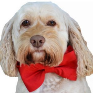 scarlet bow tie collar front w dog