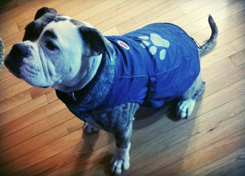 dog coats for pitbulls